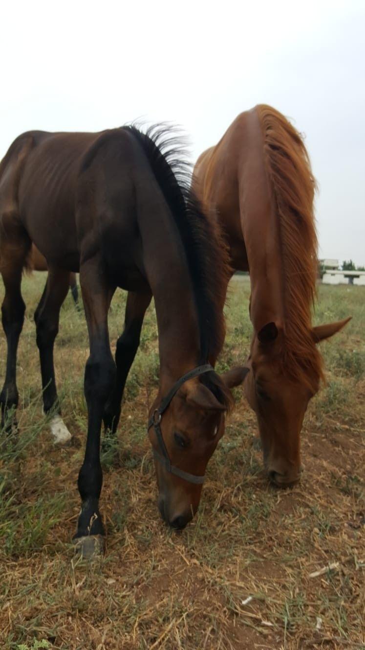 400 Bin Tl Değerindeki Ingiliz Yarış Atı Yavrusuyla Birlikte çalındı