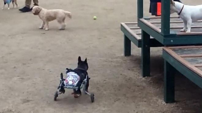 ABD'de felçli köpeğe 'tekerlekli' çözüm