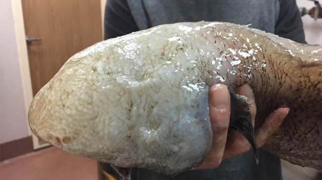'Yüzsüz' balık bilim dünyasında heyecan yarattı