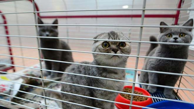 Kaçak getirilen İşkoç kedileri ücretsiz sahiplendirilecek