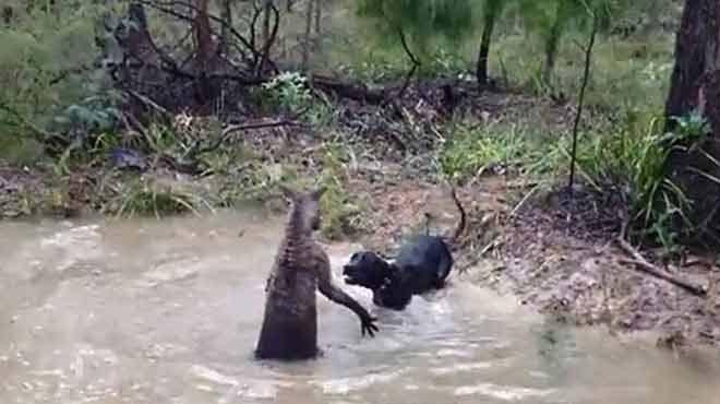 Kanguruya bulaşan köpek neye uğradığını şaşırdı