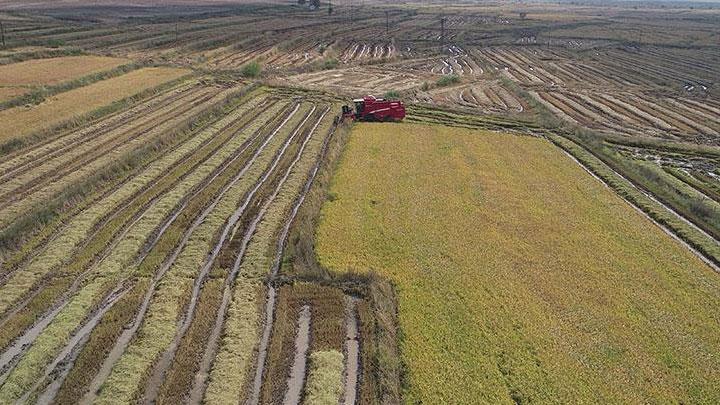Sağanaklar nedeniyle ara verilen çeltik hasadına yeniden başlandı