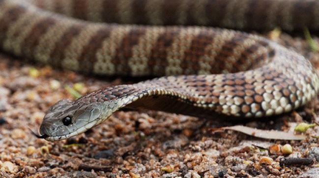 Avustralya'da yılanın soktuğu İngiliz öldü