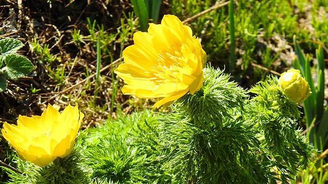 Giresun'da izine 150 yıl sonra yeniden rastlanan 'Sarı Dağ Gülü' bitkisi korunacak